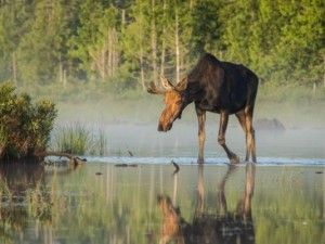 Moose Hunting Permits