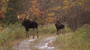 Maine Moose Lottery - Time to enter the moose lottery in Maine