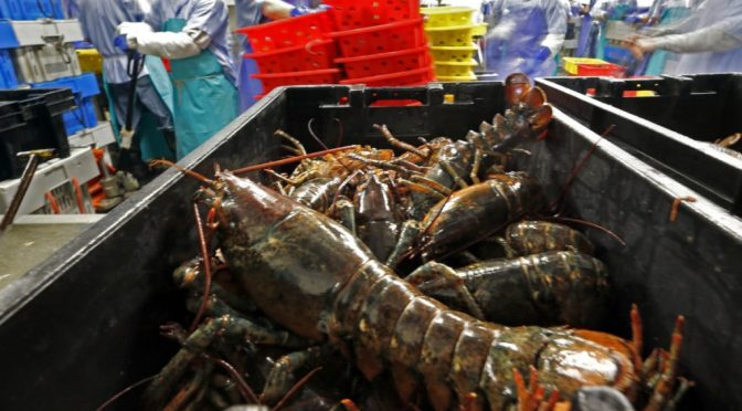 Maine lobster industry is threatened by climate change.